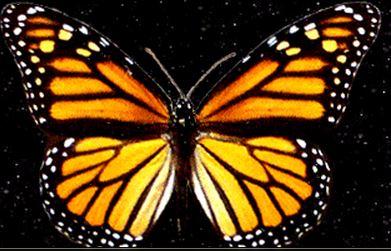 Monarche 2